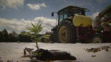 IMAGE: Person County farmers testing hemp as NC's next cash crop