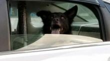 IMAGE: Carrboro police pick up dog wandering near town building