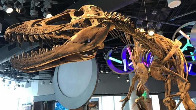 A Tyrannosaurus Rex skeleton on display at the N.C. Museum of Natural Sciences.