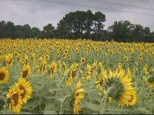 Waste-water sludge helps sunflowers blossom in Raleigh field