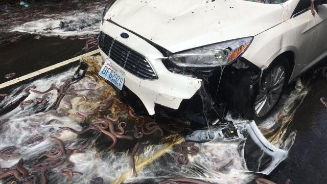 Hundreds of eels slither over Oregon highway following wreck