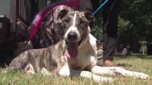 IMAGES: Owner accused of hiding pit bulls that attacked Fayetteville dog
