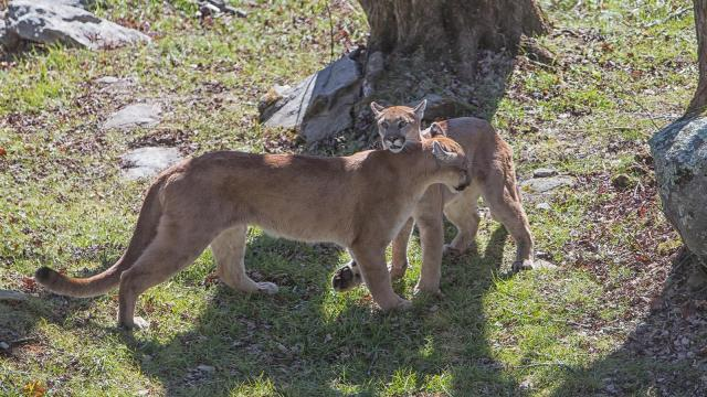 Two cougar cubs, Logan and Trinity, made their public debut last week at Grandfather Mountain.