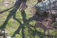 IMAGES: Grandfather Mountain's 2 new cougars ready to meet the public