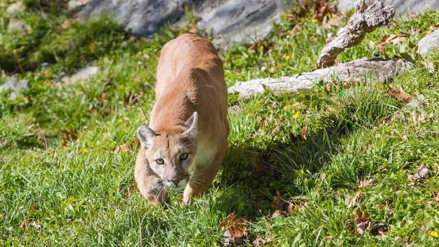 Grandfather Mountain cougars