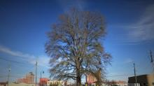 IMAGES: Will historic Goldsboro tree be cut down to boost downtown development?
