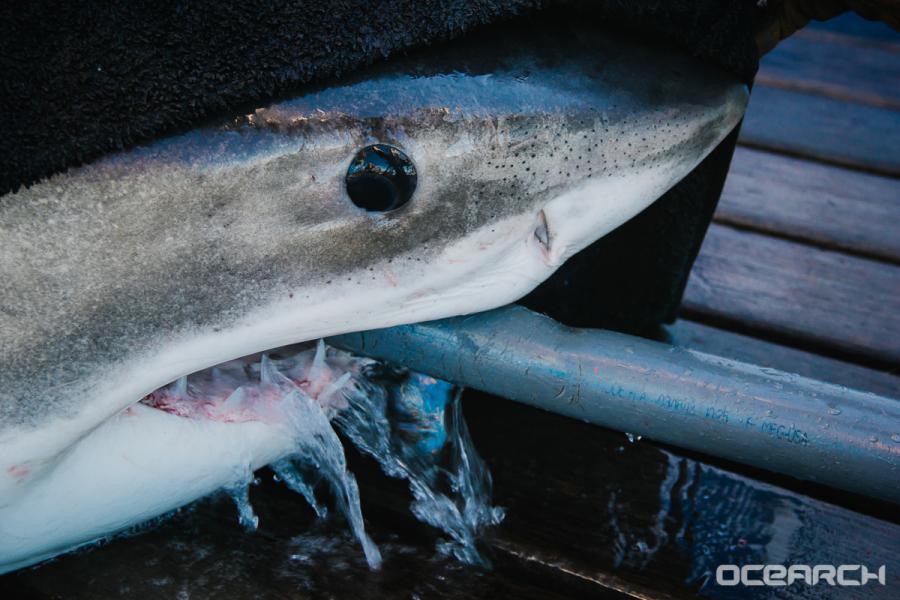 Great White Sharks Return To Nc Coast Wral Com