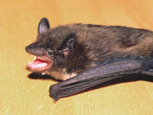 Bats In Your Attic This Nc Law Says It S Illegal To Remove Them Wral