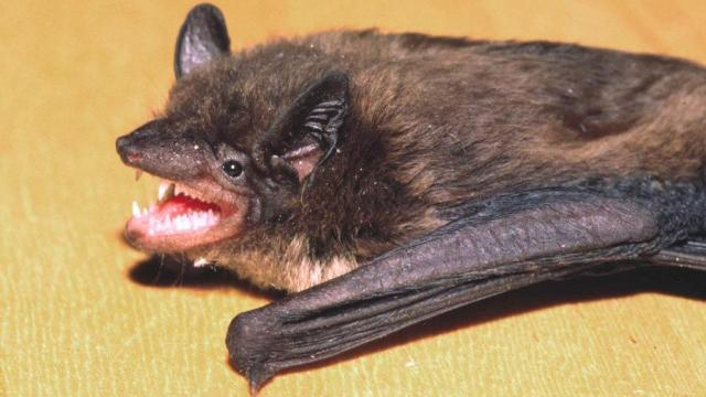Bats in your attic? This NC law says it's illegal to remove