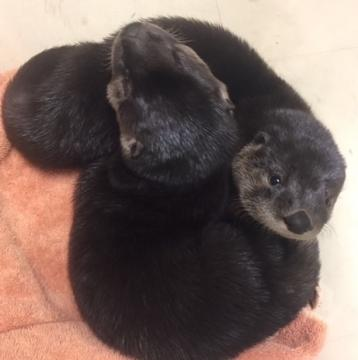NC Zoo working to save orphaned otters