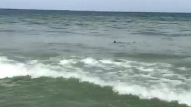 Raw Shark Swims Near Shore In Myrtle Beach Wral Com