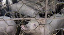 IMAGES: Smithfield Foods removing hogs from farms involved in court losses