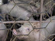 hog farm generic