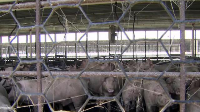 Hogs in a barn on the Joey Carter farm in Duplin County