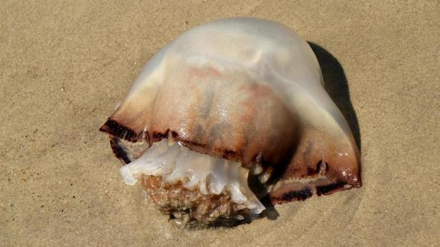 Jellyfish Warning Issued For