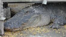 IMAGES: 20 permits given to hunt alligators in Hyde County