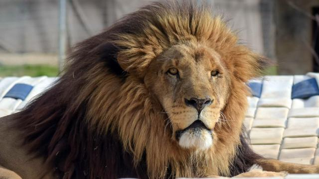 Matthai the lion