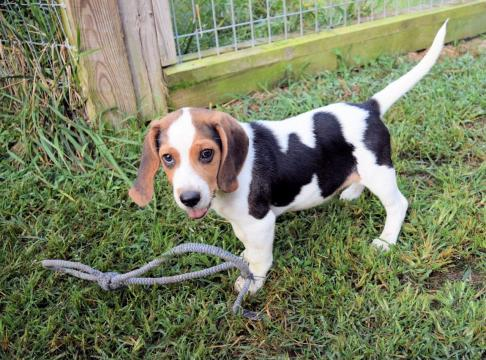 Caswell County stray beagle to compete in Puppy Bowl