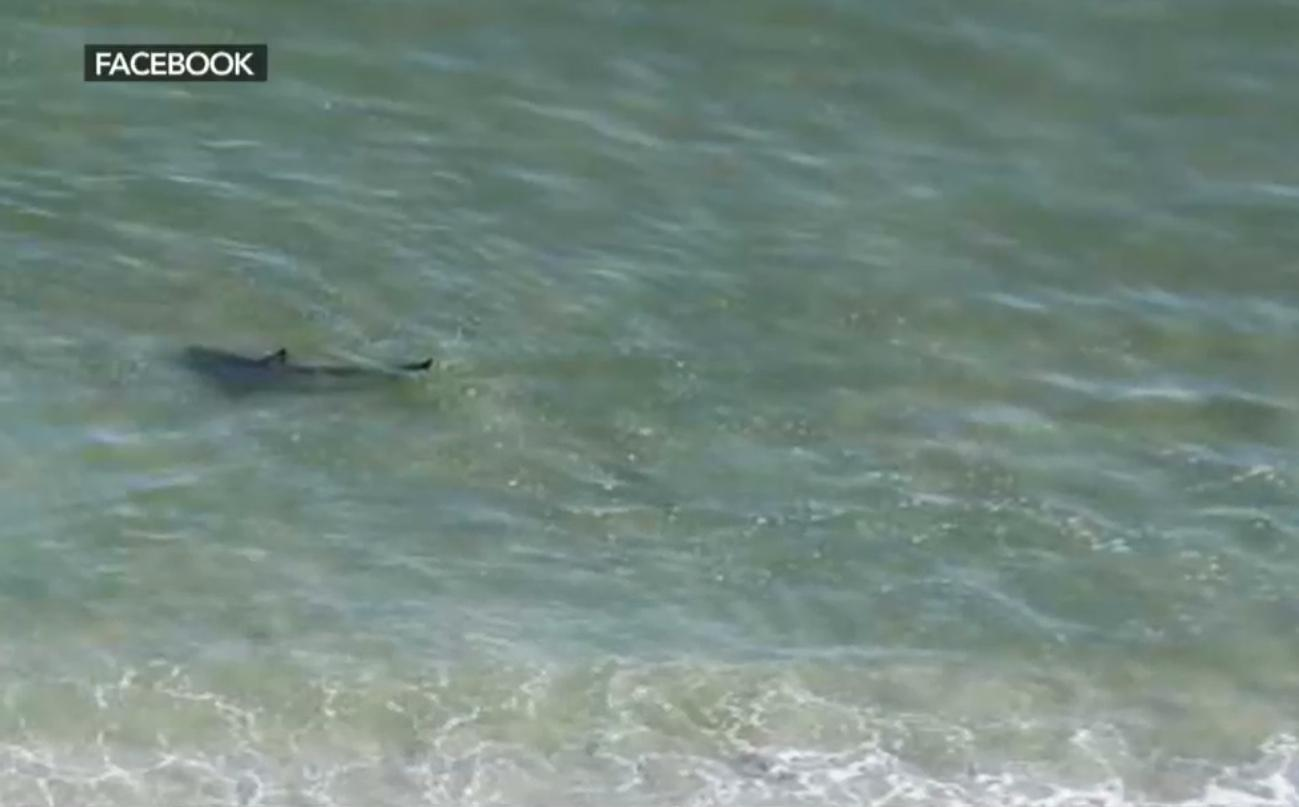 Sharks Close To North Myrtle