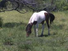 Ocracoke horses could have come from shipwrecks