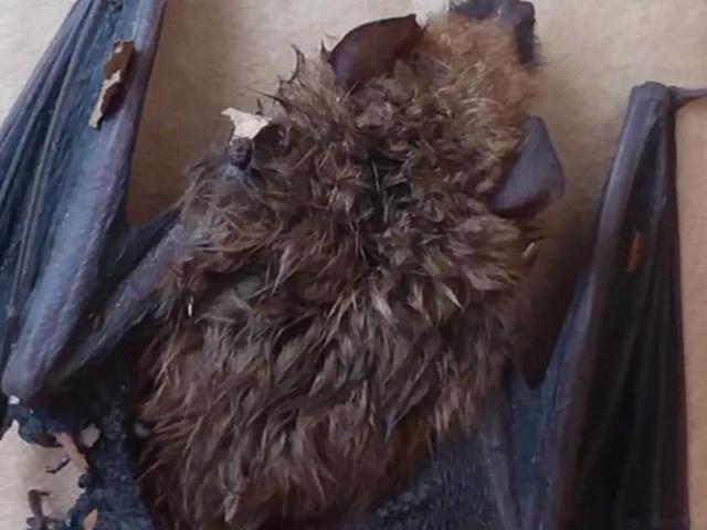 Raleigh woman shares warning after encounter with rabid bat - WRAL.com thumbnail