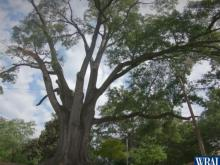 Residents fear Raleigh tree will be cut down