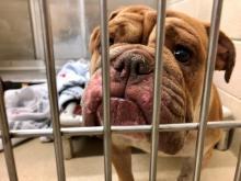 Bulldogs seized in animal cruelty case