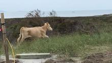 IMAGE: Wild cows who showed up at Cape Lookout after Hurricane Dorian returned to Cedar Island