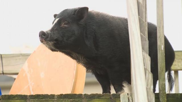 Twisted tale: Neighbors help pig left on porch of Kentucky home after owners move