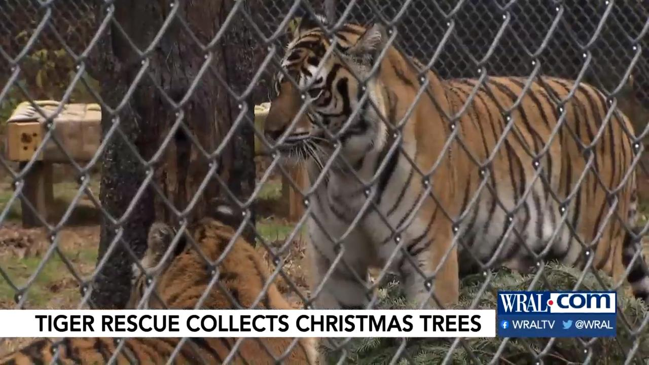 Christmas Tree Removal Pittsboro In 2020 Pittsboro animal sanctuary will take your discarded Christmas tree