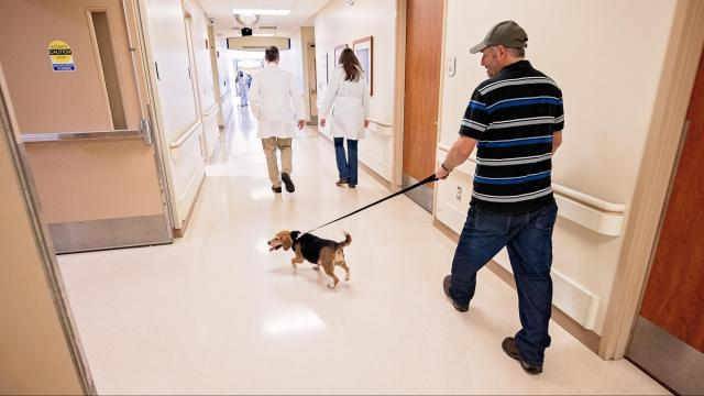 Beagle trained to sniff out C. diff bacteria at Greenville hospital