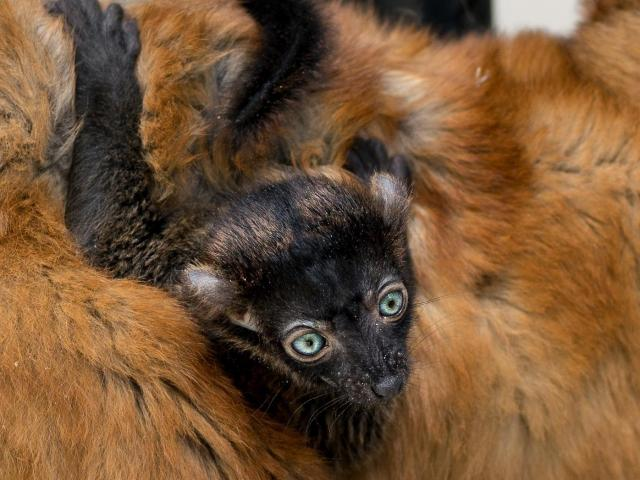 Blue-eyed black lemur 'Brady' with his mother. Photo from the Duke Lemur Center's Facebook. <br/>Web Editor: Maggie Brown