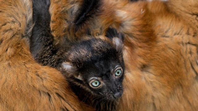 Blue-eyed black lemur 'Brady' with his mother. Photo from the Duke Lemur Center's Facebook.