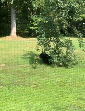 Bear hanging out under pear tree in North Durham