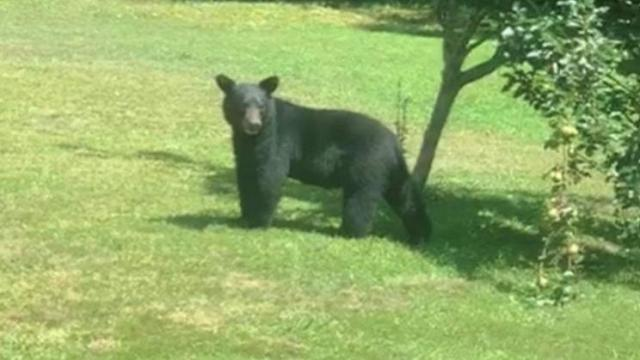 Bear hanging out under pear tree in North Durham. Photo submitted by Karla Curington.