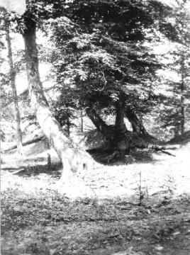 Trees leaning from the earthquake in New Madrid in 1811-12. Image courtesy of the USGS