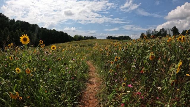 North Carolina Museum of art now has a sunflower, pollination field at the outdoor museum park.