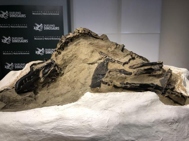 A new exhibit opening at the NC Museum of Natural Sciences in 2022 showcases the only 100% complete T. rex remains in the world.