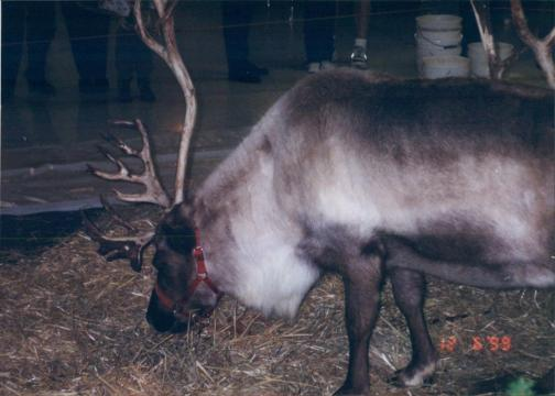 A photo of one of the reindeer at South Hills Mall, courtesy of Leilani Long.