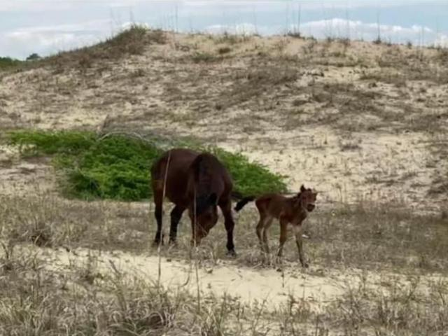 Corolla welcomes sixth wild horse foal born along NC's Outer Banks in 2021 - WRAL.com