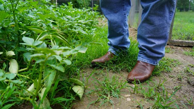 Cowboy stands in potato garden