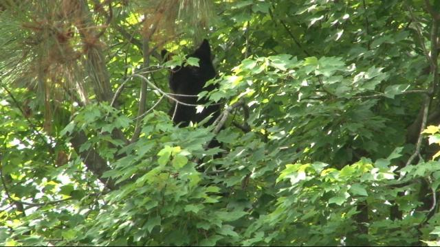 Bear cub spotted in tree outside UNC Rex in Raleigh