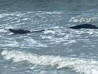 12-ft long alligator surfs along NC coast