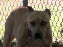 Various breeds on county watch lists for dangerous dogs