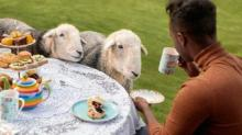 IMAGE: You Can Have Afternoon Tea With Cute Sheep In Scotland