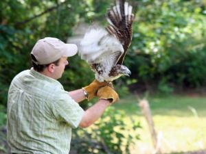 Release of Red-tailed Hawk, Courtesy: NC Museum of Natural Sciences