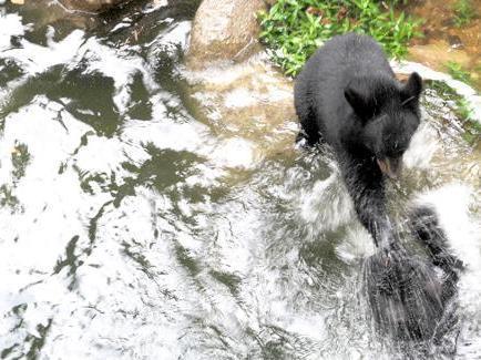 Black bear cubs make N.C. Zoo debut
