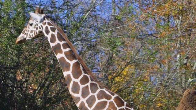 Azog, a male giraffe at the N.C. Zoo