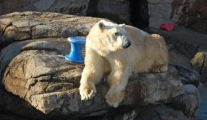 Aquila, the North Carolina Zoo's newest polar bear, relaxes in his habitat Friday on his first day on exhibit since returning to the park this week from the Cleveland Zoo. Aquila had been exhibited at the N.C. Zoo from 1994 until 2002, when he was sent to the Louisville (KY) Zoo. (N.C. Zoo photo by Jeff Owen)