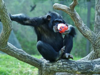 """A chimp enjoys an """"Egg-Stravaganza"""" treat at the North Carolina Zoo."""